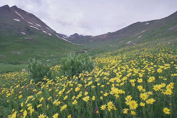 Wildflowers in alpine meadow,Heartleaf Arnica,Arnica cordifolia,False Hellebore, Ouray, San Juan Mountains, Rocky Mountains, Colorado, USA, July 2007