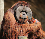 One of the adult orangutans enjoys a fruit popsicle during the Beastly Brunch at the Houston Zoo Sunday Feb. 28,2010. (Dave Rossman Photo)
