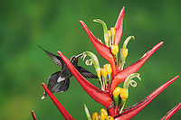 White-whiskered Hermit (Phaethornis yaruqui), adult feeding on heliconia flower,Mindo, Ecuador, Andes, South America