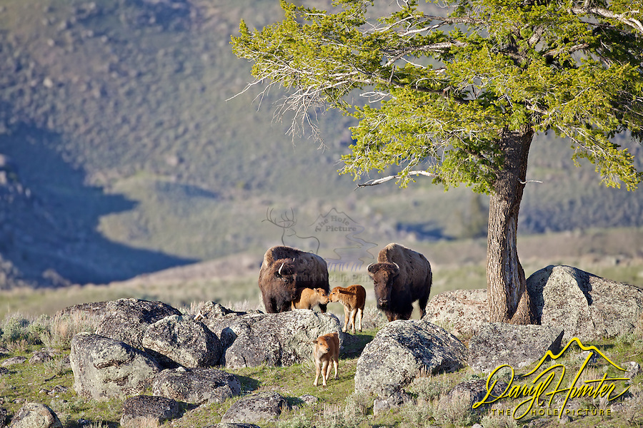 "Spring time in Yellowstone is when we get to watch the new crop of bison calves proliferate. Colloquially known as ""red dogs"" they are fun to watch and these temporarily cute little critters hop, run, jump and play across the landscape of Yellowstone National Park"