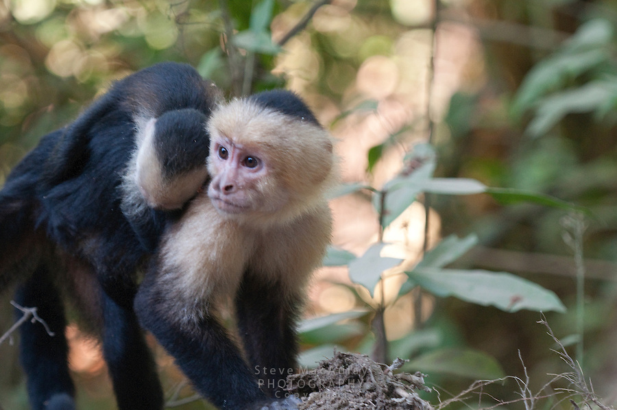 White Faced Capuchin Monkey, White Headed Capuchin Monkey (Cebus capucinus)