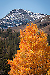 Autumn in the High Sierra, east slope of Sonora Pass, Mono Co., Calif. ..First autumn snow on the mountains around Leavitt Peak
