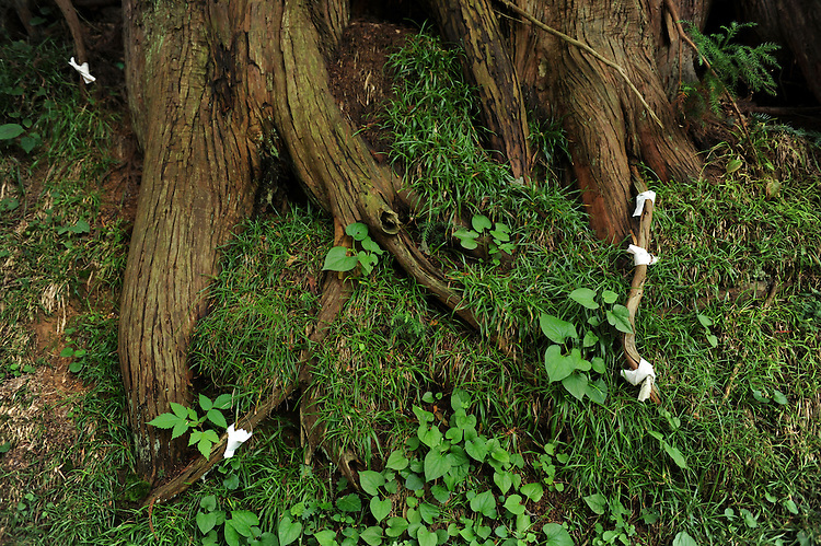 Sacred tree and its roots protected with sacred paper in Iwaki Shrine.