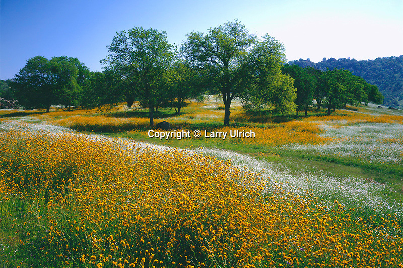 Popcornflowers, fiddlenecks and valley oaks <br /> Road D 168<br /> Sierra Nevada Foothills<br /> Tulare County,  California