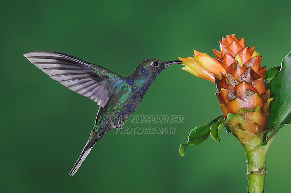 Violet Sabrewing, Campylopterus hemileucurus, male in flight feeding on Spiral Ginger (Costus Pulverulentus), Central Valley, Costa Rica, Central America
