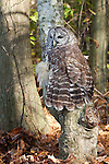 This barred owl at the Pocomoke River State Park in Maryland is under the care of the National Park Service.