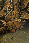 Bushmaster snakes coiled together, captive, not released