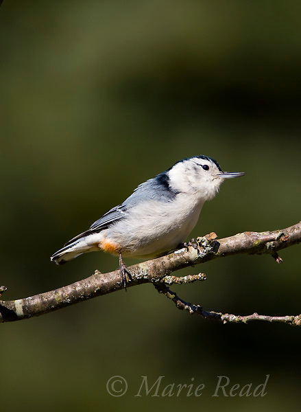 White-breasted Nuthatch (Sitta carolinensis) male singing in spring, New York, USA.