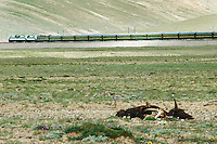 A train on the Lhasa railway passes a dead yak as it crosses the Tangula Pass. At 5,072m, the pass is the highest point on the line and the highest point of any railway in the world..21 Jul 2006