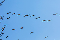 africa, Zambia, South Luangwa National Park,  Great white pelican flying in flock