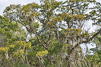 Cypress trees with moss hanging in a Lousiana swamp.