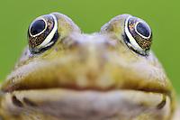 Frog(Rana Esculenta) Prypiat area, Belarus
