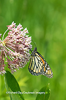 03536-05406 Monarch Butterfly (Danus plexippus) on Swamp Milkweed (Asclepias incarnata), Marion Co., IL