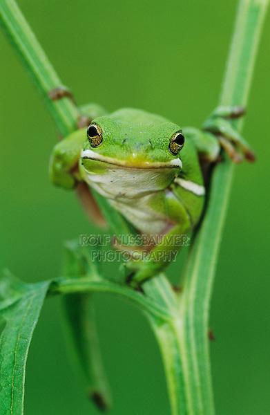 Green Treefrog, Hyla cinerea, adult, Lake Corpus Christi, Texas, USA