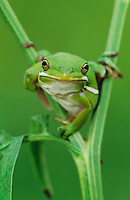 Green Treefrog, Hyla cinerea, adult, Lake Corpus Christi, Texas, USA