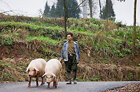 Farmer leads pigs to market near Chongqing, China