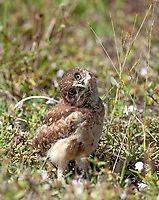 Curious burrowing owl chick