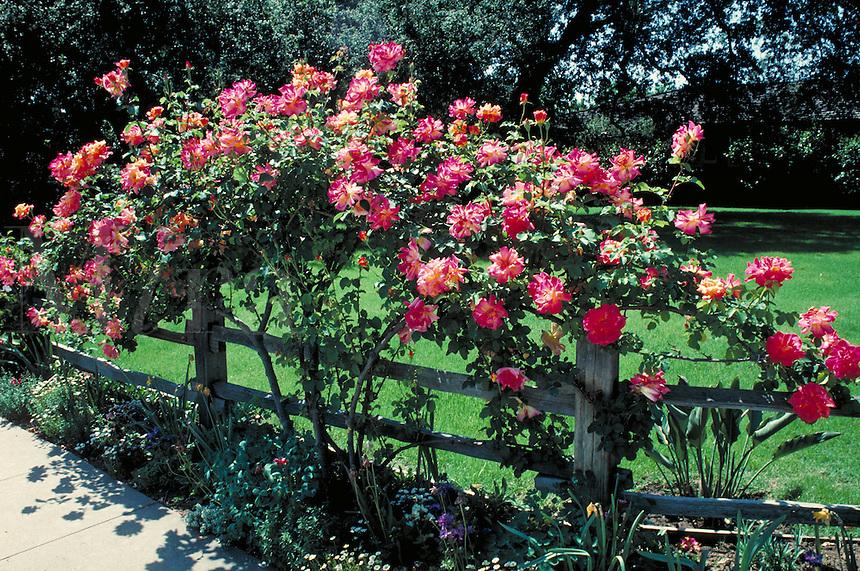 climbing pink roses along wooden garden fence. bloom, petals, rose bush, rose, spring, season, seasonal, plants, gardening. garden.