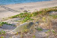 Australian flatback sea turtle, Natator depressus, females crawl up beach to nest in dunes at top of beach, Crab Island, off Cape York Peninsula, Torres Strait, Queensland, Australia