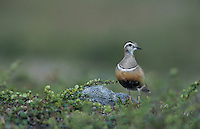 Eurasian Dotterel, Charadrius morinellus, male, Gednjehogda, Norway, June 2001