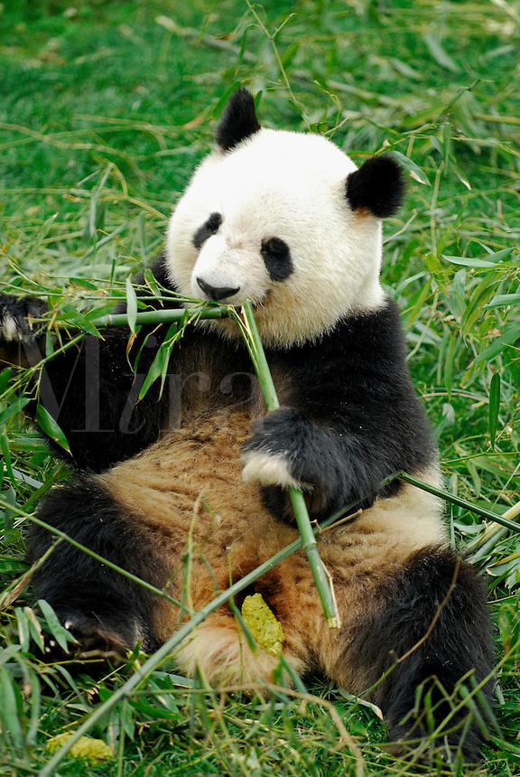 Giant Panda feeding on bamboo shoot at Chengdu Research Base of Giant Panda Breeding, Sichuan, China.