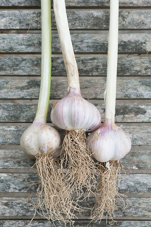 Garlic 'Germidour', mid August. A softneck variety.