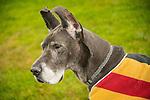 Great Blue Dane dog.
