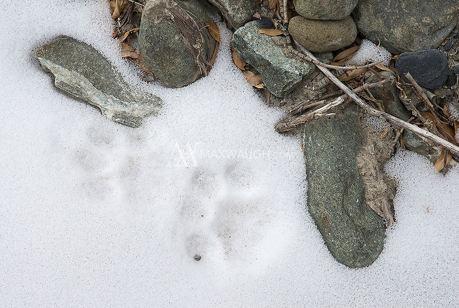 We saw occasional snow leopard tracks in Ladakh, but it was very difficult finding the actual cats!