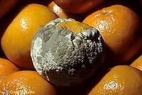 DC21-004a  Penicillin Mold - on orange