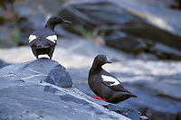Pigeon Guillemot sits along the rocky shore of Prince William Sound, Alaska