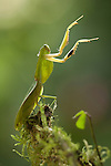 Praying Mantis, Costa Rica
