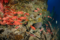 school of soldierfishes, Myripristis murdjan, Giant Moray, Gymnothorax javanicus, off coast of Hurghada, Red Sea, Egypt