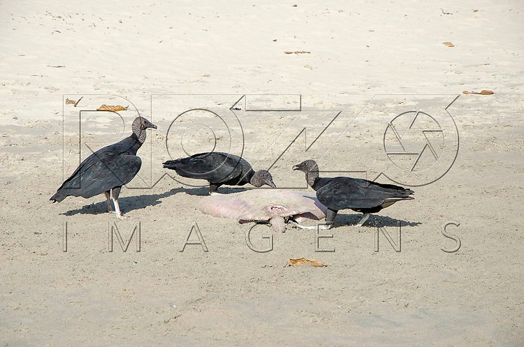 Urubu comendo carniça na Praia do Sono, Paraty - RJ, 01/2016.