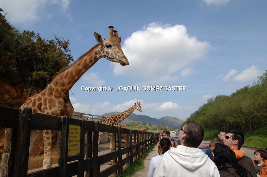 .Los visitantes disfrutan con las jirafas en el parque de la naturaleza de Cabarceno en Cantabria..foto JOAQUIN GOMEZ SASTRE©
