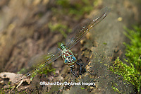 06370-00210 Swamp Darner (Epiaeschna heros) female ovipositing laying eggs on log in water, Marion Co., IL