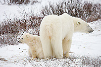 01874-109.11 Polar Bears (Ursus maritimus) female & 2 cubs near Hudson Bay, Churchill  MB, Canada