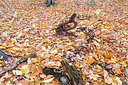 Remnants of an old sickle bar mower at an abandoned farmstead at Thornton Gore in Thornton, New Hampshire during the autumn months. Thornton Gore was the site of an old hill farming community that was abandoned during the 19th century. Based on an 1860 historical map of Grafton County this is believed to have been the J. Merrill farmstead. The removal of historic artifacts from federal lands without a permit is a violation of federal law.