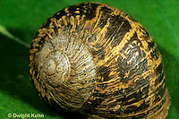 1Y08-034c  Land Snail - west coast snail shell showing growth - Helix aspersa