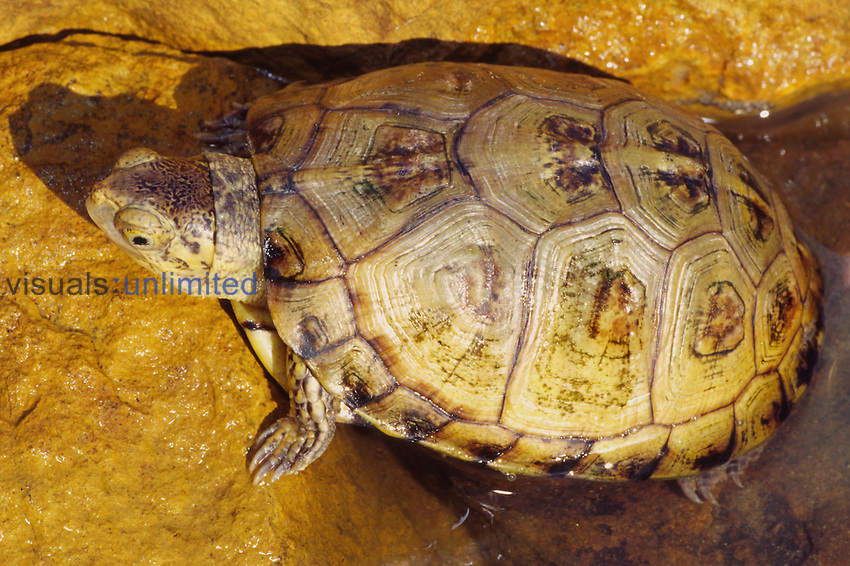 Aquatic Box Turtle (Terrapene coahuila) endemic to the Cuatro Cienegas Wetlands of North central Mexico.