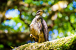 The Corcovado Nature Preserve on the Osa Peninsula of Costa Rica, Central America.  Common black hawk (juvenile)