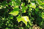 London plane tree leaves in summer, Sutton, Suffolk, England, UK