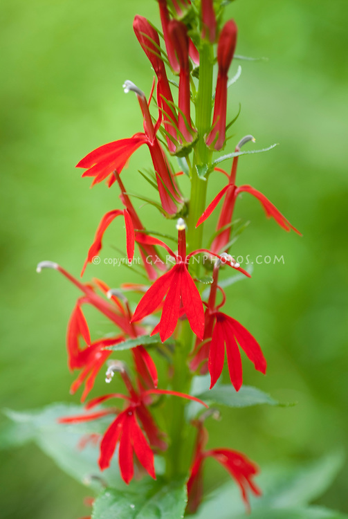 Lobelia cardinalis in the wild by stream in Pennsylvania, USA, North America
