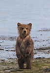 Brown bear cub, Lake Clark National Park, Alaska, USA