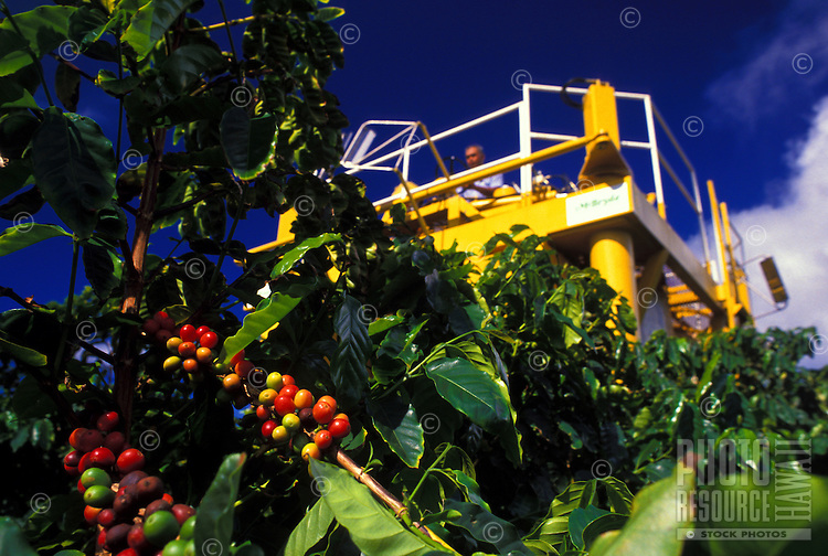 Harvesting coffee beans on the Island of Kauai