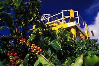 Harvesting coffee beans on the Island of Kauai