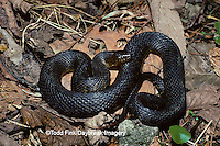 02841-00115 (TF) Green Water Snake (Nerodia cyclopion)    IL