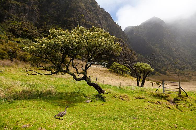 A nene, Hawaii's endemic goose, walking near the Paliku cabin in Haleakala National Park on the island of Maui, Hawaii, USA