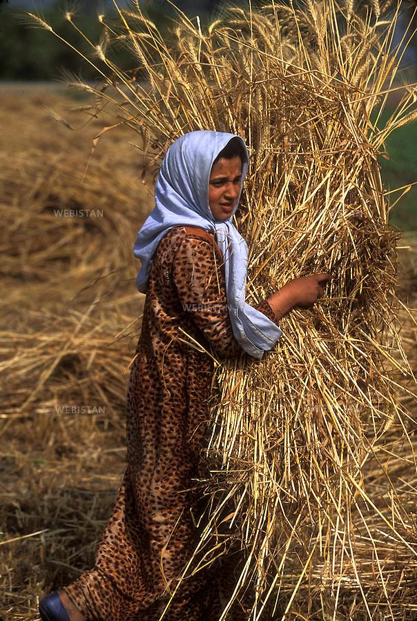 ..Egypt. Nile Delta. 1996. An Egyptian female farmer harvests a wheat field with a sickle...Egypte. Delta du Nil. 1996. Une paysanne egyptienne moissonne un champ de ble avec une faucille.