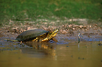 477950012 a wild red-eared slider trachemys scripta elegans munches on green plants and roots at the edge of a small pond on a ranch in tamaulipas state mexico