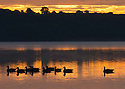 28/06/16<br /> <br /> Dawn breaks over Canada geese as they glide across Carsington Water, near Ashbourne, Derbyshire.<br /> <br /> Planning for the reservoir started in the 1960s with actual construction starting in 1979. In 1984 there was a partial collapse of the dam prior to its filling. The dam was subsequently completely removed before construction of a new dam commenced in 1989. The finished reservoir  opened in 1992.<br /> All Rights Reserved, F Stop Press Ltd. +44 (0)1773 550665